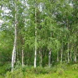 Hurtigvoksende træer