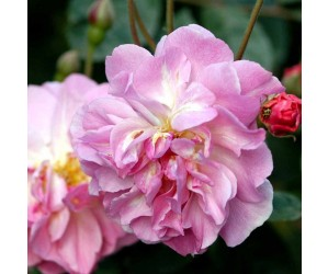 Cornelia rose blomst