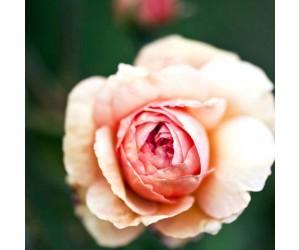 A shrophire lad rose