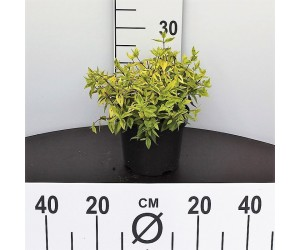 Abelia Grandiflora Kaleidoscop
