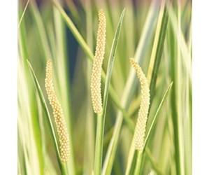 Græsbladet Kalmus