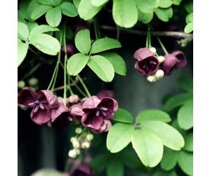 Akebie slyngplante
