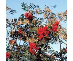 Alm røn hækplante