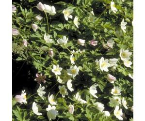 anemone skovbund