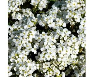 Kalkkarse hvid