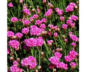 Engelsk græs Armeria maritima blomst