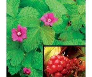 Bjørnebær  Rubus arcticus Beata