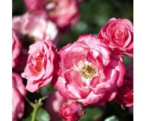 Bella rosa rose
