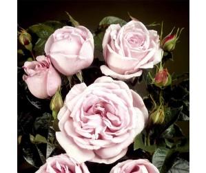 Bering rosenbusk