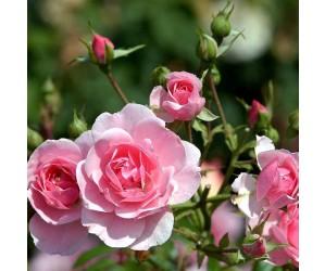 Bonica rose og knop