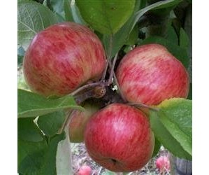 Cideræble Browns apple