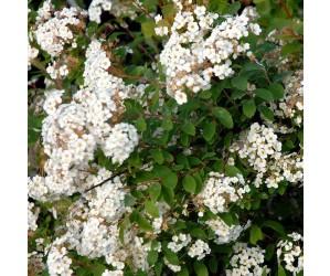 Buket Spiræa blomster