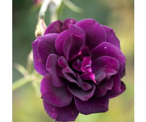 Burgundy ice rose