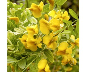 Hænge-ærtetræ Pendula
