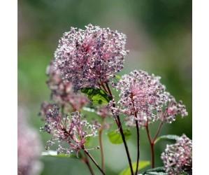 Ceanothus Marie Simon blomst