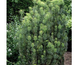 Cephalotaxus harringtonia Fastigiata