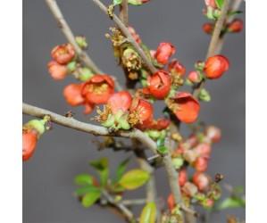 Japansk Kvæde Scarlet blomst