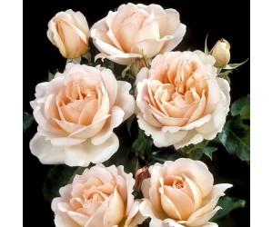 Clair rosenbusk