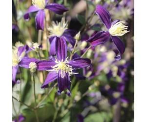 Klematis lilla