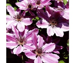 Clematis Nelly Moser blomster