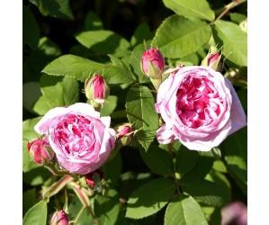 Portlandsrose lyserød