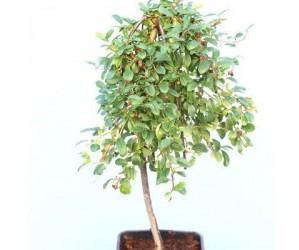 Cotoneaster dammeri opstammet