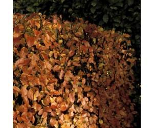 Glans Dværgmispel Lucidus efterårsfarver