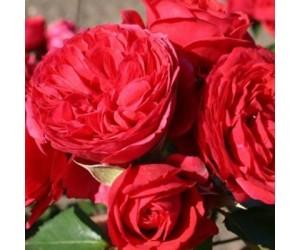 Crimson flower circus rose