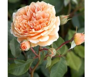 Crown Princess rosenbusk