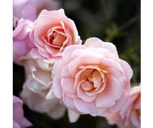Dronning Margrethe rose opstammet