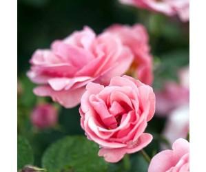 Egeskov rose blomst