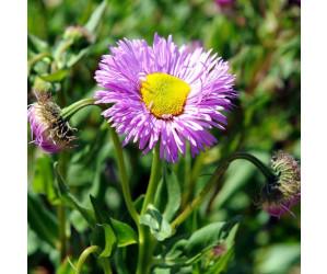 Bakkestjerne Erigeron speciosus Rosa Juwel lilla