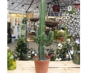 Cowboy kaktus (Euphorbia) - Flere varianter