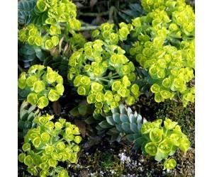 Blågrøn vortemælk blomst