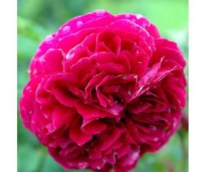 Falstaff rose blomst