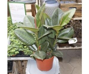 Gummiplante (Ficus elastica 'Robusta') - Flere varianter