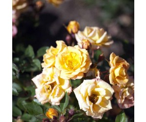 Flaming Cover opstammet rose