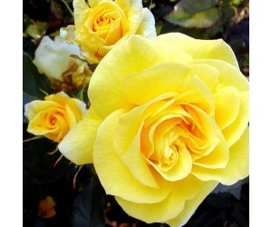 Friesia rose og knop