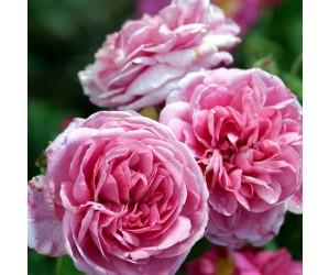 Gertrude Jekyll rosenbusk
