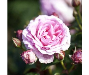 Ghita rose og knop