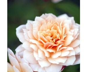 Opstammet engelsk rose Grace