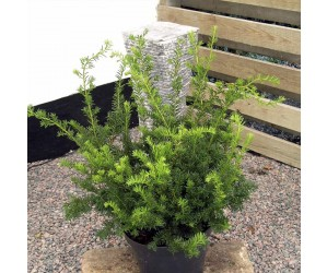 taxus media green moutain