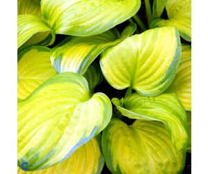 Funkia (Hosta for. 'Stained Glass')