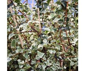 Klatre hortensia silver lining