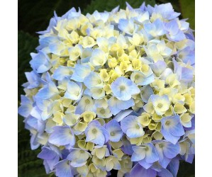 Hortensia Endless Summer