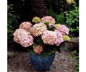 Lyserød hortensia