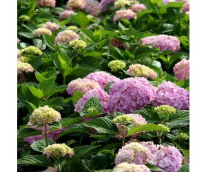 hortensia endless summer rosa