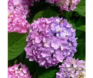 Hortensia Endless Summer Bloom Star
