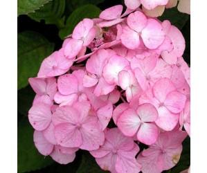 Hortensia Preziosa blomst
