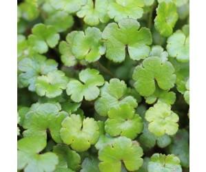 Hydrocotyle novea-zelandiae
